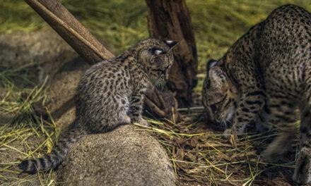 Ritka macskaféle született Nyíregyházán