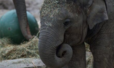 Egy hónapig nem láthatod Arunt, a kiselefántot