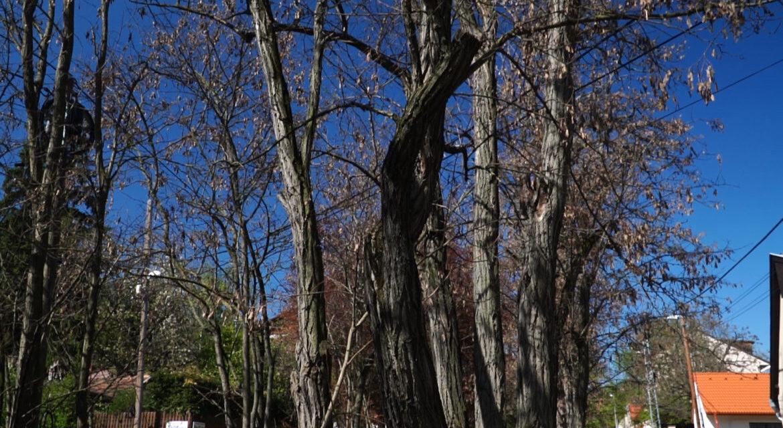 Köteles pótolni a Főkert az általa kivágott fákat a Péter Pál utcában