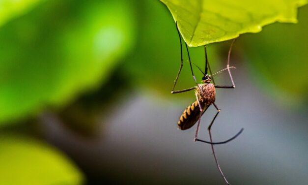 Szúnyoggyérítés Budafok-Tétényben